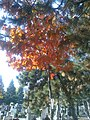 Bucuresti, Romania. Cimitirul Bellu Catolic. Puiul de stejar cu frunze de foc. (3).jpg