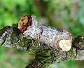 Buff-tip.. Phalera bucephala. (14233888516).jpg
