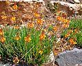 Bulbine frutescens Snake Flower, Bulbine Lily ბულბინე.JPG