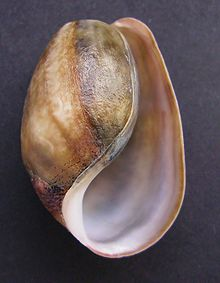 A shell of the marine species Bulla quoyii , which is an opisthobranch. Bulla quoyii, underside.JPG