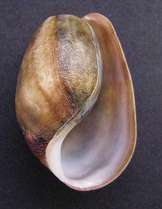 Heterobranchia - A shell of the marine species Bulla quoyii, which is an opisthobranch.