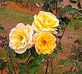 Bunch of Yellow Roses.jpg