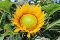 Bunga Matahari (Helianthus annuus L).jpg