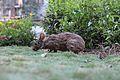 Bunny at Wilderness Lodge (19453059650).jpg