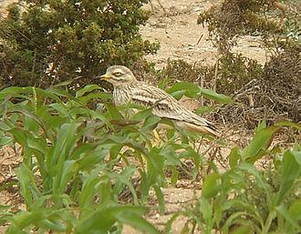 Stone-curlew - Image: Burhinus oedicnemus 0