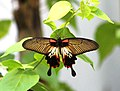 Burma Arakan States Papilio Memnon Agénor Distantianus femelle Great Mormon (26302337941).jpg