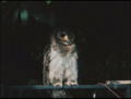 Burung Hantu.png