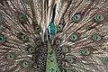 Burung Merak ( Peacock Bird ) from Indonesia 2.jpg