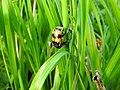 Burying beetle (27503707674).jpg