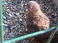Buteo buteo - Isle of Wight 2.jpg