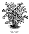 Céleri à couper Vilmorin-Andrieux 1904.png
