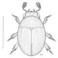 COLE Leiodidae Zeadolopus maoricus.png