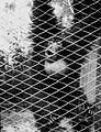 COLLECTIE TROPENMUSEUM Een siamang met opgeblazen keelzak in dierenpark Rango TMnr 60051103.jpg