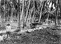 COLLECTIE TROPENMUSEUM Kokosnootschillers op een plantage op de Cocos of Keeling eilanden TMnr 10012606.jpg
