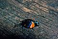 CSIRO ScienceImage 1044 Cebysa leucotelus Psychidae.jpg