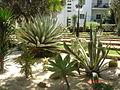Cactus on Bahai Gardens.jpg