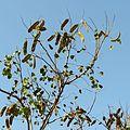 Caesalpinia in Celestún Estuary - Flickr - treegrow (5).jpg