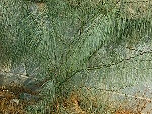 Parkinsonia aculeata - Image: Caesalpiniaceae Parkinsonia aculeata 4