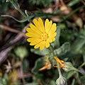 Calendula arvensis-Souci des champs-Fleur-20190318.jpg
