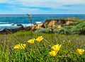 California Poppies for the California Coast (32909967123).jpg