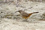 California Thrasher (Toxostoma redivivum).jpg