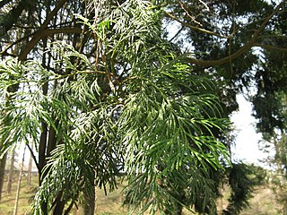 <i>Calocedrus formosana</i>