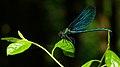 Calopteryx virgo auf Blatt.jpg
