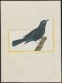Calornis mauritianus - 1700-1880 - Print - Iconographia Zoologica - Special Collections University of Amsterdam - UBA01 IZ15800163.tif