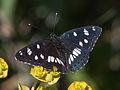 Calvisson-Sylvain azuré (limenitis reducta)-20140516.jpg