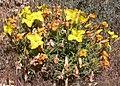 Calylophus lavandulifolius 2.jpg