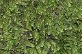 Calypogeia muelleriana (b, 144823-474711) 6135.JPG