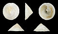 Calyptraea chinensis 01.jpg