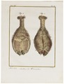 Camelus dromedarius - hoeven - 1700-1880 - Print - Iconographia Zoologica - Special Collections University of Amsterdam - UBA01 IZ21600071.tif