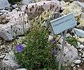 Campanula carpatica GiardinoBotanicoAlpinoViote 20170902 A.jpg
