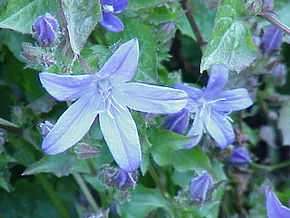 Description de l'image Campanula tommasiana0.jpg.