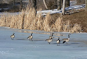 Canada geese on frozen lake in Platte River St...