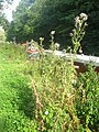 Canalside Thistles - geograph.org.uk - 1843025.jpg