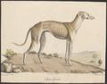 Canis lupus familiaris - 1818-1842 - Print - Iconographia Zoologica - Special Collections University of Amsterdam - UBA01 IZ22300306.tif