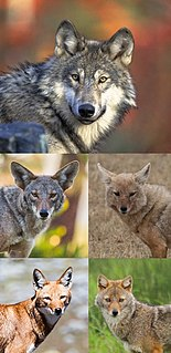 <i>Canis</i>