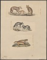 Canis vulpes (vulgaris) - 1700-1880 - Print - Iconographia Zoologica - Special Collections University of Amsterdam - UBA01 IZ22200263.tif