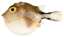 Canthigaster rostrata inflated SI.jpg