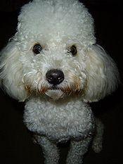 Focinho retangular do Poodle