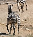 Cape Mountain Zebras (Equus zebra zebra) running away ... (32191820110).jpg