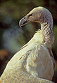 Cape vulture portrait.jpg