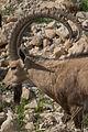 Capra nubiana, Israel 1.jpg