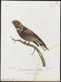 Caprimulgus pectoralis - 1796-1808 - Print - Iconographia Zoologica - Special Collections University of Amsterdam - UBA01 IZ16700045.tif