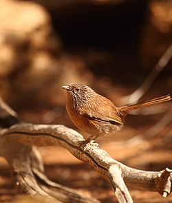 Captive Dusky Grasswren at Alice Springs Desert Park.jpg