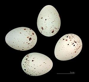 Common linnet - Eggs