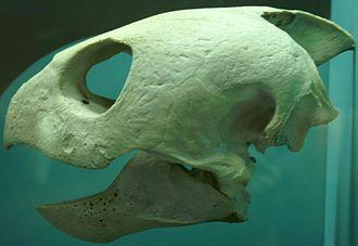 Anapsid - Anapsid skull of Caretta caretta (Loggerhead sea turtle), a Testudine