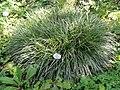 Carex morrowii - Botanischer Garten, Frankfurt am Main - DSC03191.JPG